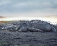Grande alligatore americano Fotografia Stock