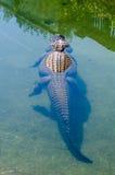 Grande alligatore americano che nuota via Fotografie Stock Libere da Diritti