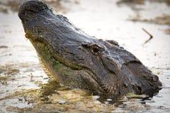 Grande alligatore americano nell'acqua Immagine Stock