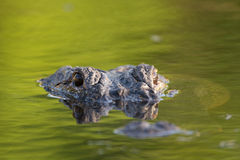 Grande alligatore americano nell'acqua Fotografia Stock Libera da Diritti