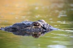 Grande alligatore americano nell'acqua Immagini Stock Libere da Diritti