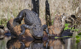 Grande alligatore americano, riserva del cittadino della palude di Okefenokee Fotografia Stock
