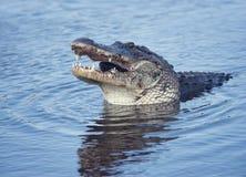 Grande alligatore con un pesce Fotografia Stock Libera da Diritti