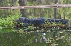 Grande alligatore della femmina adulta Fotografia Stock