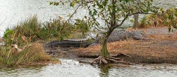 Grande alligatore pericoloso che mette su un'isola Fotografia Stock
