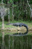 Grande alligatore a riposo sulla riva Fotografia Stock Libera da Diritti
