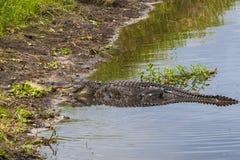 Grande alligatore sommerso in una palude di Florida Fotografia Stock