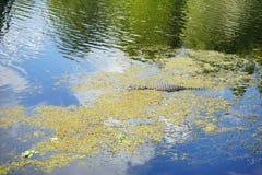 Grande alligatore in uno stagno Immagini Stock