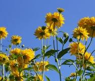 Grande allungamento giallo dei fiori al cielo blu Immagine Stock