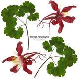 Grande ancolie royale rouge et blanche sèche avec l'OIN pressée de feuilles illustration libre de droits