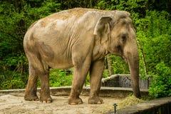 Grande animale dell'elefante Fotografia Stock