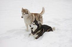 Grande animali fiere della neve del lupo del cane selvaggio di inverno della neve del husky di due coppie belle immagine stock