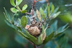 Grande araignée Photographie stock