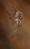 Grande araignée accrochant derrière la toile d'araignée Image libre de droits
