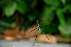 Grande araignée (Araneae) Photographie stock
