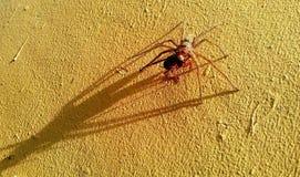 Grande araignée de Chambre Photo stock