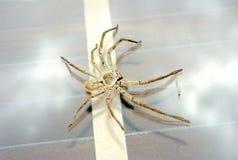 Grande araignée de chasseur Photos libres de droits