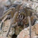 Grande araignée de chasseur Photographie stock libre de droits