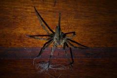 Grande araignée très toxique combattant avec des cheveux de chien sur un mur en bois images libres de droits