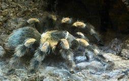 Grande araignée velue Photos libres de droits