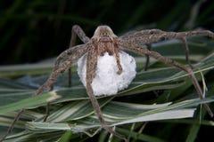 Grande araignée velue et son sac d'oeufs Photos stock