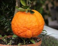 Grande arancia Fotografie Stock