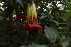 Grande arborea di brugmansia del fiore selvaggio fotografia stock