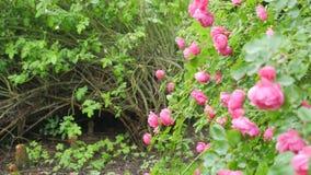 Grande arbusto con i fiori delle rose Il movimento della macchina fotografica permette di vedere tutti i fiori archivi video