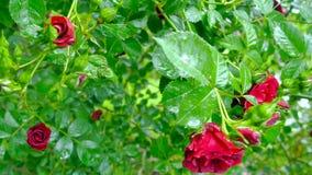 Grande arbusto con i fiori delle rose rosse video d archivio