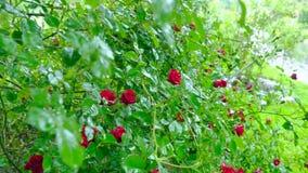 Grande arbusto con i fiori delle rose rosse Il movimento della macchina fotografica permette di vedere tutti i fiori stock footage