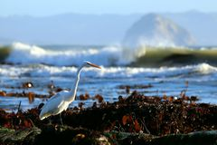 Grande Ardea do Egret alba no habitat intertidal rochoso, perto da baía de Morro, Califórnia, EUA fotografia de stock