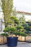 Grande ars topiaria del pino nella forma di albero sempreverde delle nuvole in vaso Fotografia Stock