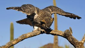 Grande aterragem da coruja Horned foto de stock royalty free