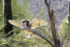 Grande aterragem da coruja Horned fotografia de stock