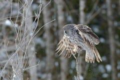 Grande aterrissagem de Gray Owl Foto de Stock