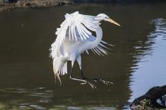 Grande aterrissagem do Egret Fotos de Stock Royalty Free