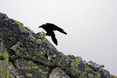 Grande atterraggio del corvo su una pietra Fotografia Stock Libera da Diritti