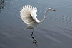 Grande atterraggio del Egret Fotografie Stock