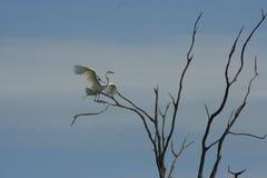 Grande atterraggio del Egret fotografie stock libere da diritti