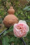 Grande aumentou com os botões no jardim na perspectiva das folhas verdes Fotos de Stock Royalty Free