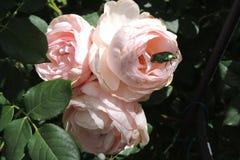 Grande aumentou com os botões no jardim na perspectiva das folhas verdes Imagem de Stock Royalty Free