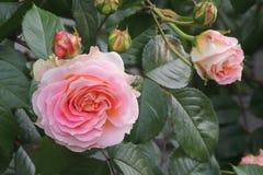 Grande aumentou com os botões no jardim na perspectiva das folhas verdes Fotografia de Stock Royalty Free