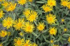 Grande aunée duveteuse jaune (hirta d'Inula) Images libres de droits