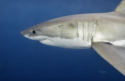 Grande Australie du sud de requin blanc Photo stock