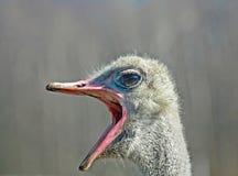 Grande autruche de bouche Photo libre de droits