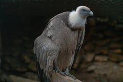 Grande avvoltoio che si siede sul ramo fotografie stock