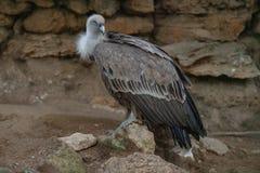 Grande avvoltoio che si siede sul ramo fotografia stock libera da diritti