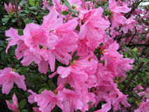 Grande Azalea Flowering Shrub cor-de-rosa imagem de stock royalty free