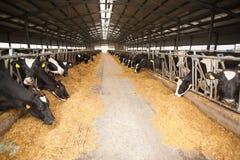 Grande azienda agricola della mucca Immagini Stock Libere da Diritti