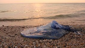 Grande, azul, muerto, medusas en agua de mar baja almacen de metraje de vídeo